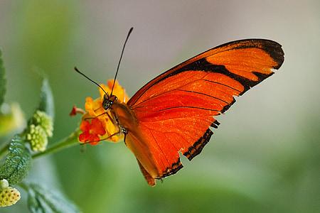 пеперуда, макрос, насекоми, животните, цвете, пеперуди, затвори