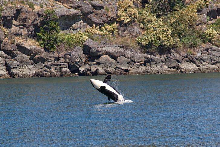 zīdītāji, vaļi, Orcas, dzīvnieku, ūdens, daba, ūdens