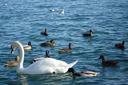 Лебедь, утка, птицы, Набережная, Озеро Балатон, Балатонфюред, Природа