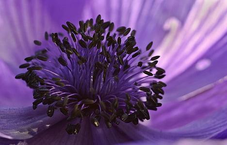 Anemone de, porpra, flor, flor, flor, jardí, primavera