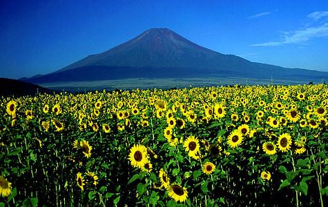 Monte fuji, girassóis, paisagem, Japão, montanha, zona rural, flores