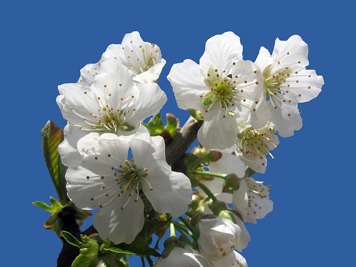 flor del cirerer, aïllats, blau, primavera, flor, flor, Setmana Santa