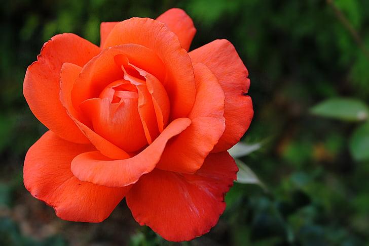 Cveće - Page 21 Flower-pink-orange-garden-preview