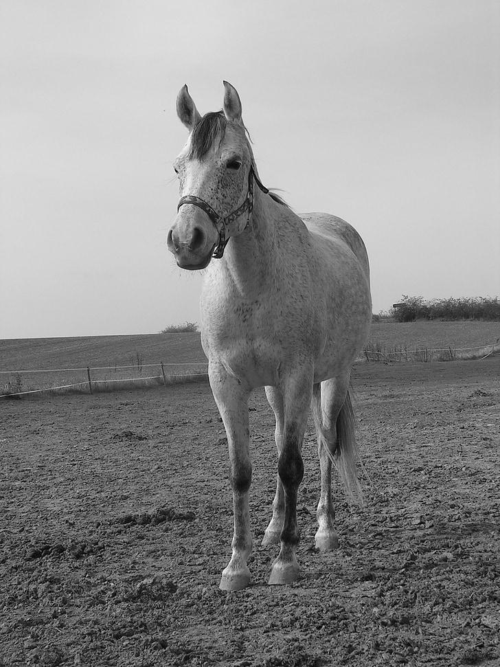 cavall, blanc, les pastures, peu, blanc i negre