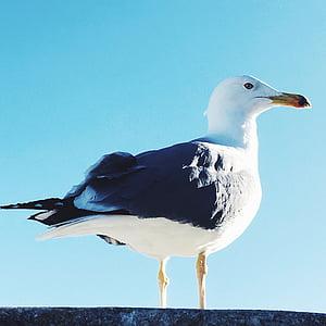 kuş, martı, gökyüzü, doğa, kanat, sinek, hayvan