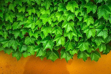 Borostyán, szőlő, a levelek, növények, hwalyeob, természet, Damme