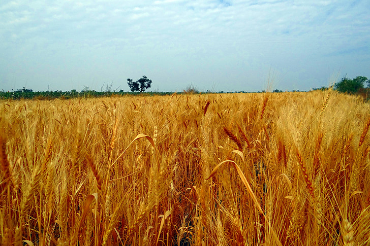 wheat fields, crop, harvest, wheat spikes, ripe, grains, cereals
