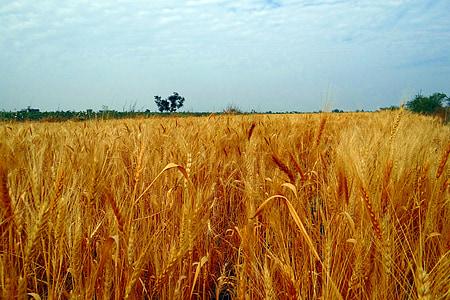 campos de trigo, das culturas, colheita, espiga de trigo., maduras, grãos, cereais