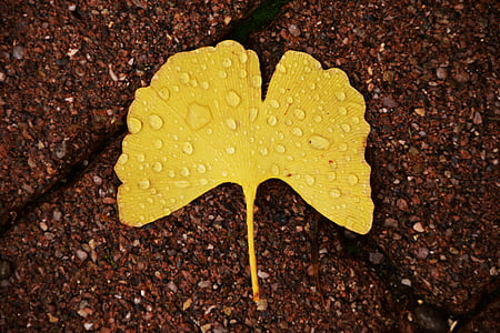 ginkgo, ginkgo leaf, autumn, welkes sheet, withered, yellow sheet, dried leaves
