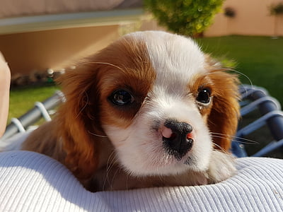 dog, puppy, pet, toy, pets, animal, cute