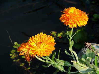 Medetkų, gėlė, oranžinė, sodas, vandens