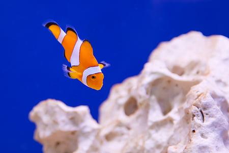 anemone, animal, aquarium, clown, fish, marine, ocean
