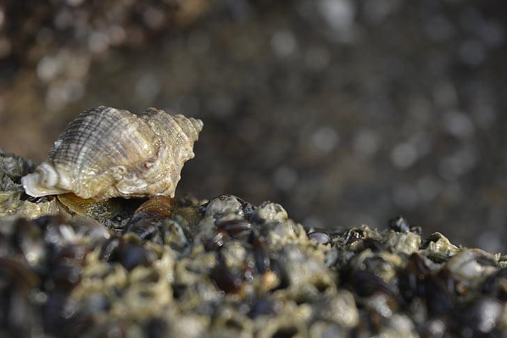 closca, petxines a la vora del mar, petxines, petxines de mar negre, coberta de closca, natura, dim naturalesa