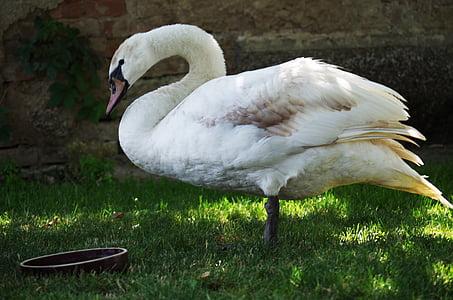 Cigne, ocell, blanc, aquosa, plomes, bec