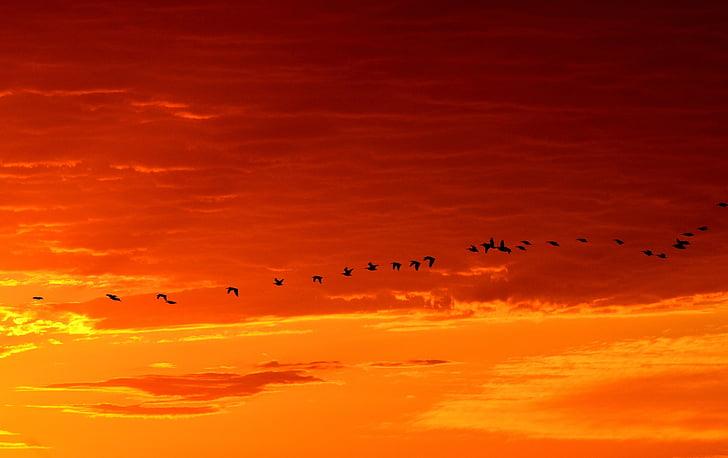 гъски, плаващи, изгрев, дива природа, птици, природата, полет