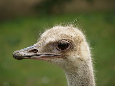 the ostrich, animal, bird, beak