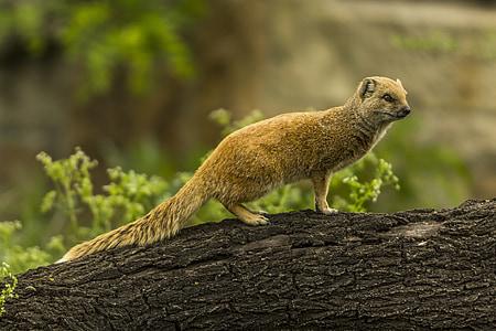 kollane Mangust, punane meerkat, Nunnu, Zoo, Mangust, imetaja, Meerkat