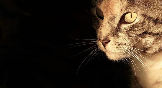 kissa, kissa muotokuva, kissan silmät, Mieze, tiikeri kissa, Piilota nenä, kotikissa