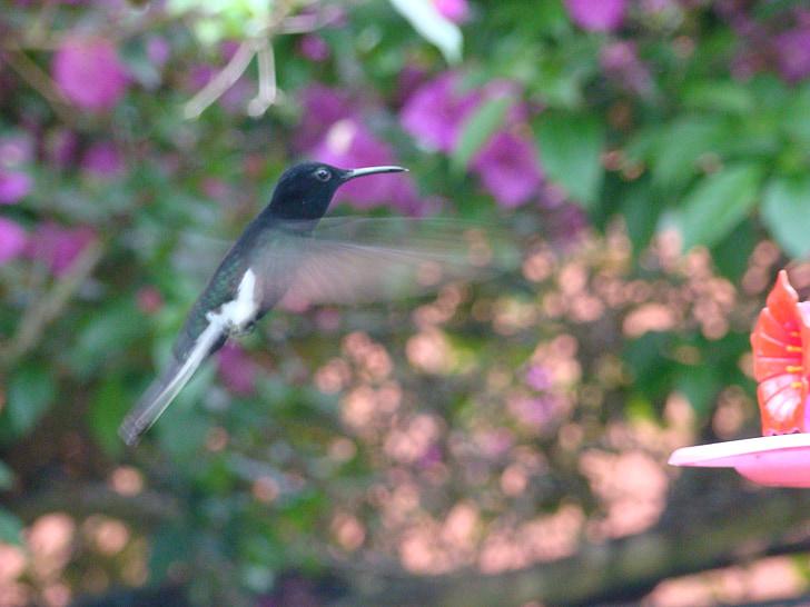 Colibrí, Paige, vol de beija flor, Colibri, ocell, natura, vida silvestre