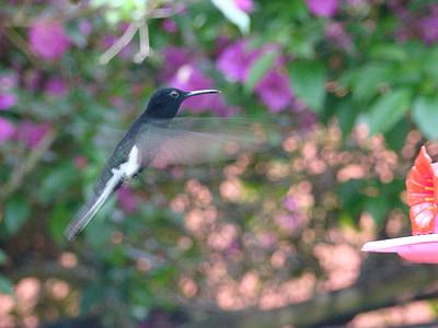 Kolibri, Paige, lento beija flor, Colibri, lintu, Luonto, Wildlife