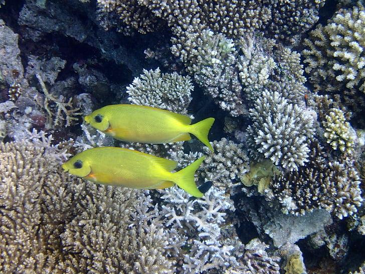 kala-jänes, kala, Sea, Maldiivid, breaking kingsepp