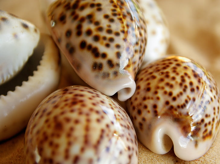 shell, tiger porcelain, pacific ocean