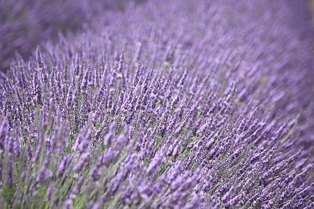 lavanda, porpra, flor, fragància, flor d'espígol, a base de plantes, l'estiu