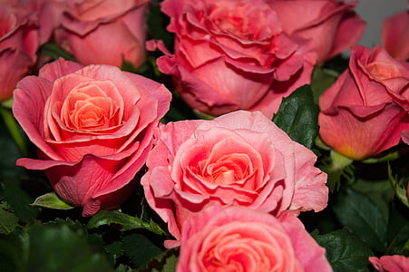 Roses, flors, vermell, flor, Rosa, Rosa tendre, rosa vermella
