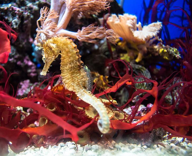 rouge, eau, poisson, Or, Aquarium, hippocampe, sous l'eau