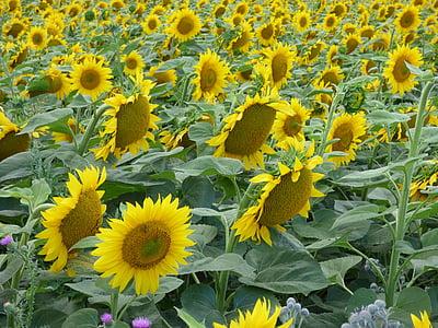 päevalill, lill, kollane, päike, taim, loodus, suvel