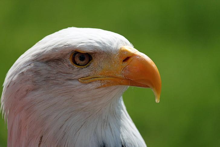 Adler, valkoinen pyrstö eagle, valkoinen, kalju kotka, silmät, muotokuva, kalju kotka