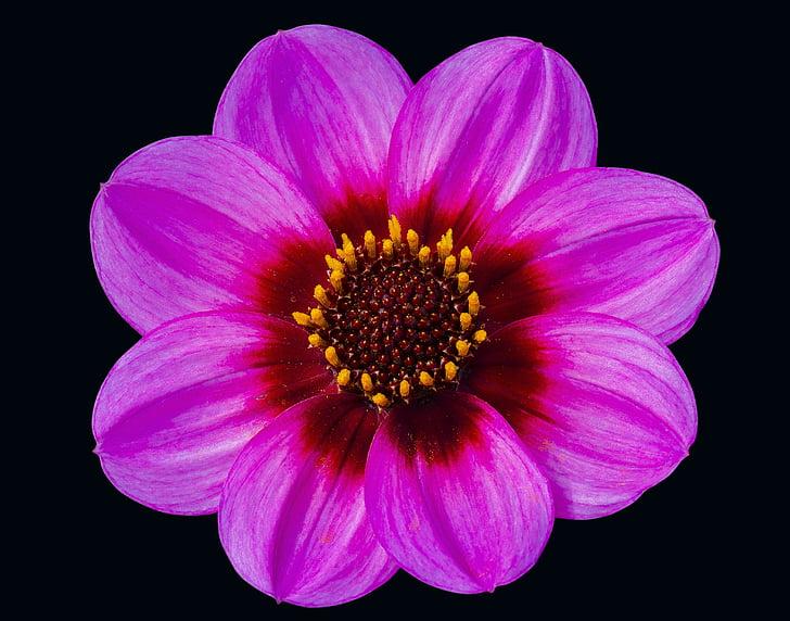 dahlia, pink, floral, head, flower, petal, black background