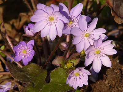 jetrnik, vetrnica, cvet, cvet, cvet, pomlad, čudovito