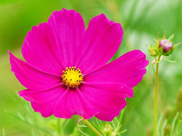 cosmea, cosmos, flower, blossom, bloom, bud, cosmea bipinnata