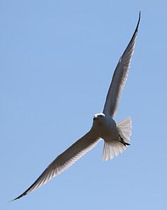 seagull, flying, bird, in flight, sky, nature, gull