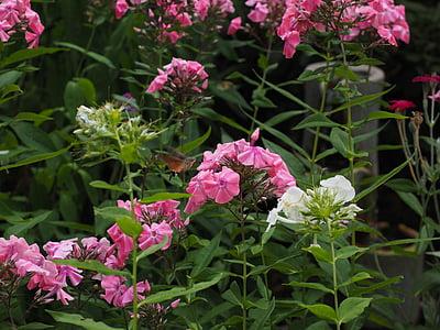 phlox, lock-up herb plants, polemoniaceae, ornamental plant, pink, hummingbird hawk moth, macroglossum stellatarum