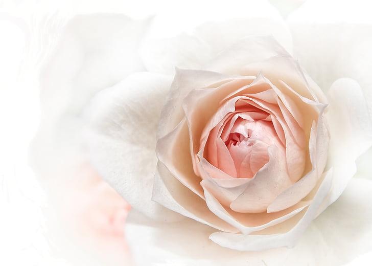 Rosa, Rosa, tancar, flor, flor, flor, flora