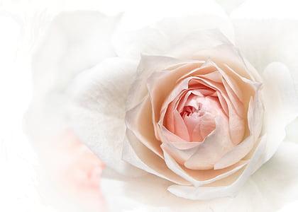 上升, 粉色, 关闭, 开花, 绽放, 花, 植物区系