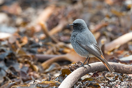 черен redstart, phoenicurus ochruros, Хелголанд, Тан, водорасли, мигриращи птици, сив