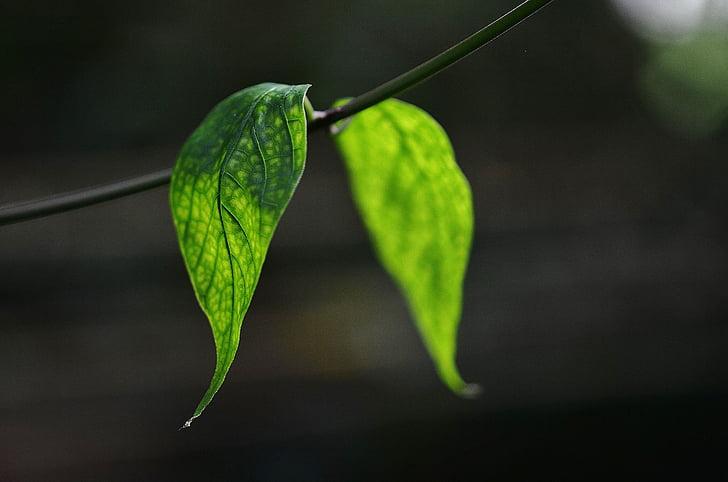 Leaf, listy, farebné, Zelená, makro, Príroda, pozadie