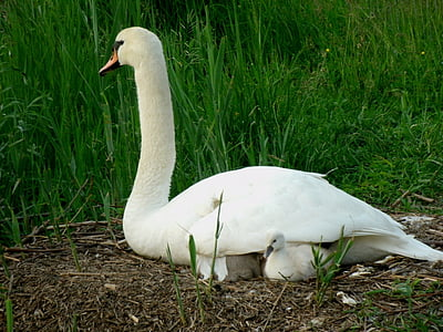 swan, young, plumage, cygnet, schwimmvogel, fluffy, swan young