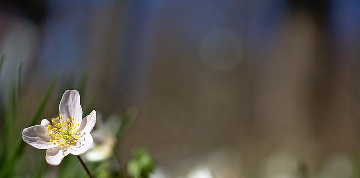 дърво anemone, цвете, Пролетно цвете, началото на лятото, Пролет