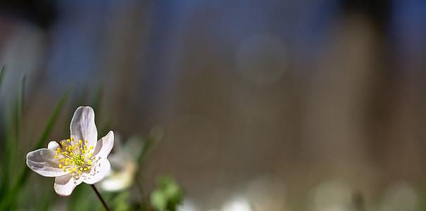 anemone lesa, cvet, spomladi cvet, zgodnje poletje, pomlad