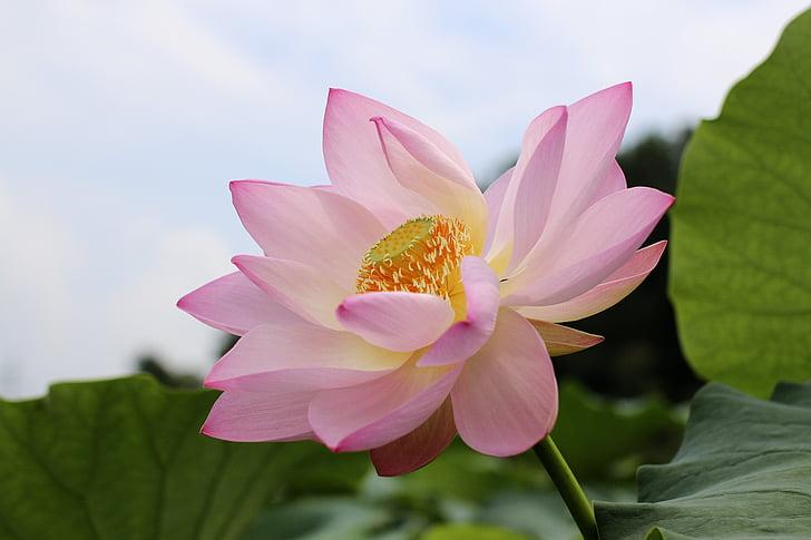 Цветы лотоса, Салон красоты, Красота, природные, лепестки роз, Полив растений, АО