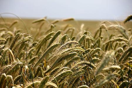 väli, teravilja, rukki, põllumajandus, rukki välja, põllukultuuride, nisu