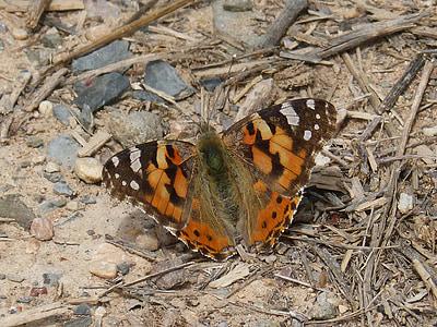 Distelvlinder, Vanesa van distels, vlinder, nachtvlinder, insect, natuur, vlinder - insecten