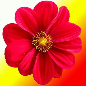 dàlia, taronja, vermell, tardor, jardí, natura, flor