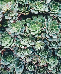 verde, piante, piante grasse