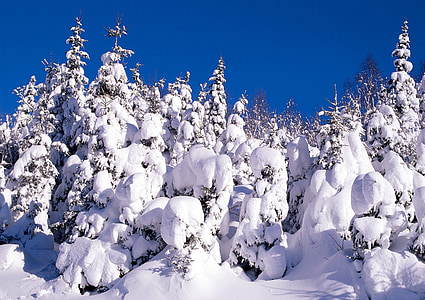 snow, cold, winter, frost, firs, sky, blue