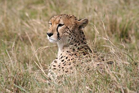 african animal, big cat, wild, wildlife, cat, african, animal